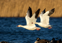 Snow geese flying, Jamaica Bay NY