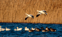 Snow geese coming in for a landing from the bay for a quick bath and drink, Jamaica Bay NY