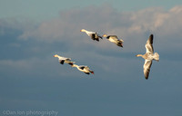 Snow geese flying, immature snow goose trailing, Jamaica Bay NY
