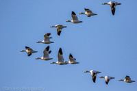 Snow geese in v formation, Jamaica Bay NY