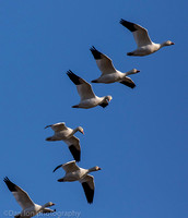 Snow geese flying and conversating, Jamaica Bay NY