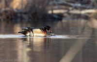 Wood duck - mating