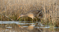 Clapper rails in marsh feeding, Long Island NY