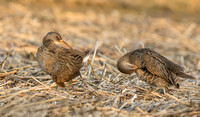 Clapper rails in marsh, Long Island NY
