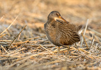 Clapper rail in marsh, Long Island NY