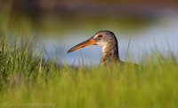 Clapper rail in marsh grass, Long Island NY