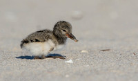 American oystercatcher chick, Nickerson Beach NY
