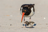 American oystercatcher feeding chick, Nickerson Beach NY