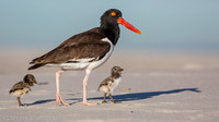 American oystercatcher with chicks, Nickerson Beach NY