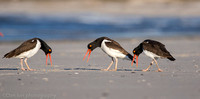 American oystercatchers courting, Nickerson Beach NY