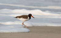 Young American oystercatcher in surf, Nickerson Beach NY