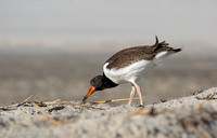 Young American oystercatcher, Nickerson Beach NY