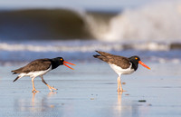 American oystercatchers mating, Nickerson Beach NY