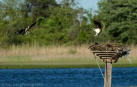 Ospreys fighting for nesting rights, Long Island NY