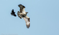 Flying osprey chased by red-wing blackbird, Long Island NY