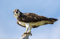 Osprey at nest, MNSA Oceanside NY