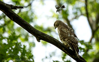 Red-tailed hawk harassed by warbler defending nest territory, Hempstead Lake NY