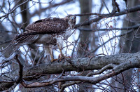 Red-tailed hawk with squirrel catch, Hempstead Lake NY