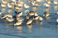 Sanderlings feeding in surf zone, Jones Beach NY