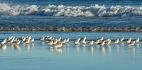 Sanderlings chasing surf, Jones Beach NY