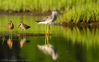 Greater yellowlegs pair with short-billed dowitchers on marsh, Long Island NY