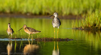 Greater yellowlegs with short-billed dowitchers on marsh, Long Island NY