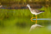 Greater yellowlegs on marsh, Long Island NY