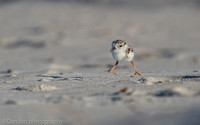 Piping plover chick, Nickerson Beach NY