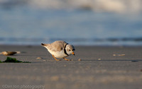 Piping plover foraging, Nickerson Beach NY