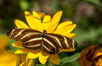 Zebra longwing butterfly on Coreopsis flower (aka calliopsis or tickseed), Long Island NY