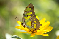 Swallowtail butterfly on Coreopsis flower (aka calliopsis and tickseed), Long Island NY