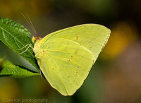 Cloudless sulphur butterfly, Long Island NY
