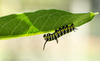 Queen butterfly caterpillar on milkweed leaf, Long Island NY