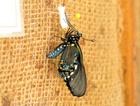 Pipevine swallowtail butterfly a few minutes after coming out of the chrysalis, Long Island NY