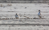 Piping plover pair during matting dance, Nickerson Beach NY