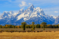 Grand Teton and bisons grazing, Jackson Hole, Grand Teton National Park