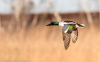 Northern Shoveler drake in flight.