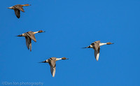 Four Common Pintails. AKA the 'Grayhound' of ducks.