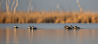 A group of Ruddy duck males.