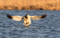 Snow Goose coming in the pond for a drink and a bath at sunset.