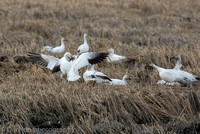 Snow Geese in a very rare fight over feeding rights.